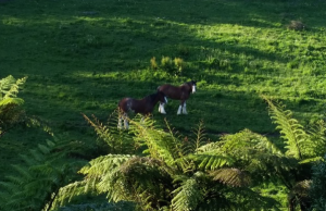 These two gorgeous Clydesdales belong to the neighbour
