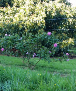 The neighbour is creating a beautiful fence of roses in front of the avocado trees.
